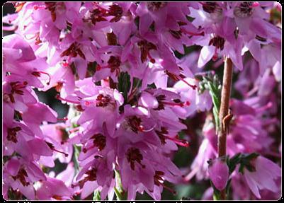 Flores de Bach: Heather – Brezo | Flores, Brezos, Angel de la guarda