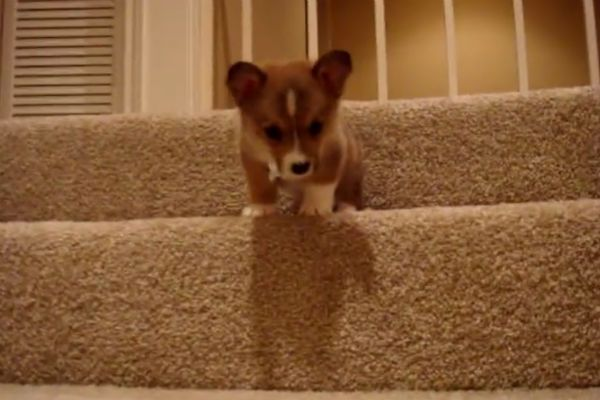 Corgi Puppy Learning To Go Down Stairs Is The Best Thing You Ll