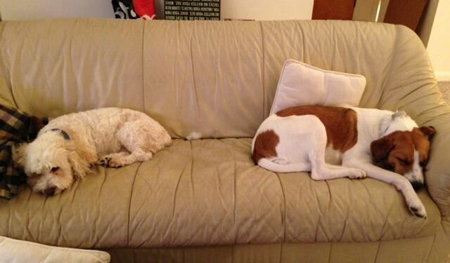Dino And Dog Cousin Izzy Resting At The South Wellfleet House On