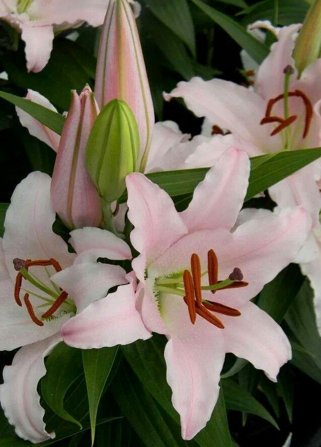 Pale Pink Oriental Lilies Tree Lily Lily Plants Fragrant Flowers