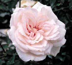 Odee Pink Rose Dog Friendly Garden Beautiful Roses