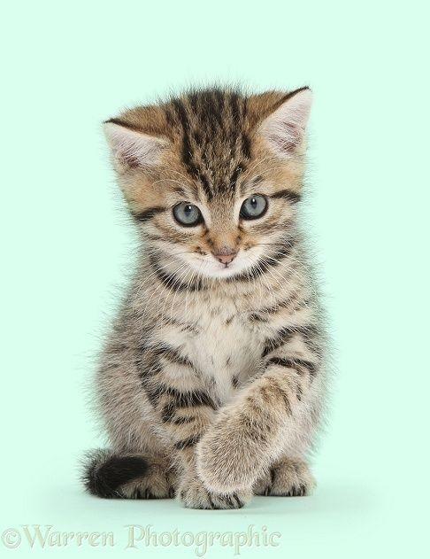 Cute Tabby Kitten 6 Weeks Old Photo Tabby Kitten Cute Cats And Kittens Kittens Cutest