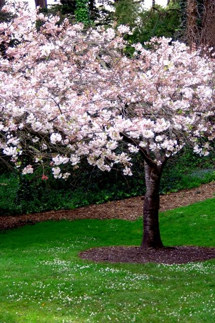 Pin By Ed Ray On House Ideas Cherry Trees Garden Small Front Gardens Trees For Front Yard