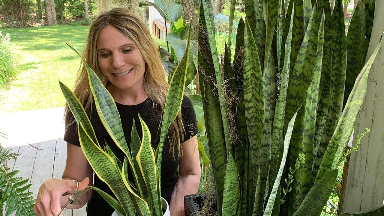 SNAKE PLANT PROPAGATION (SANSEVIERIA): 3 DIFFERENT WAYS TO ...