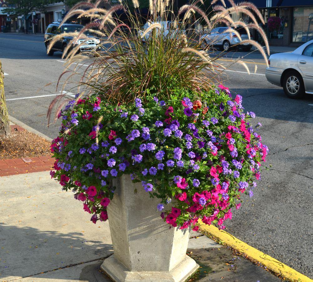 Thriller: Purple Fountain grass Filler: Hmm..looks like ...