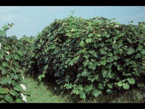 Grape Video 32 Pruning Neglected Grapevines Youtube Garden