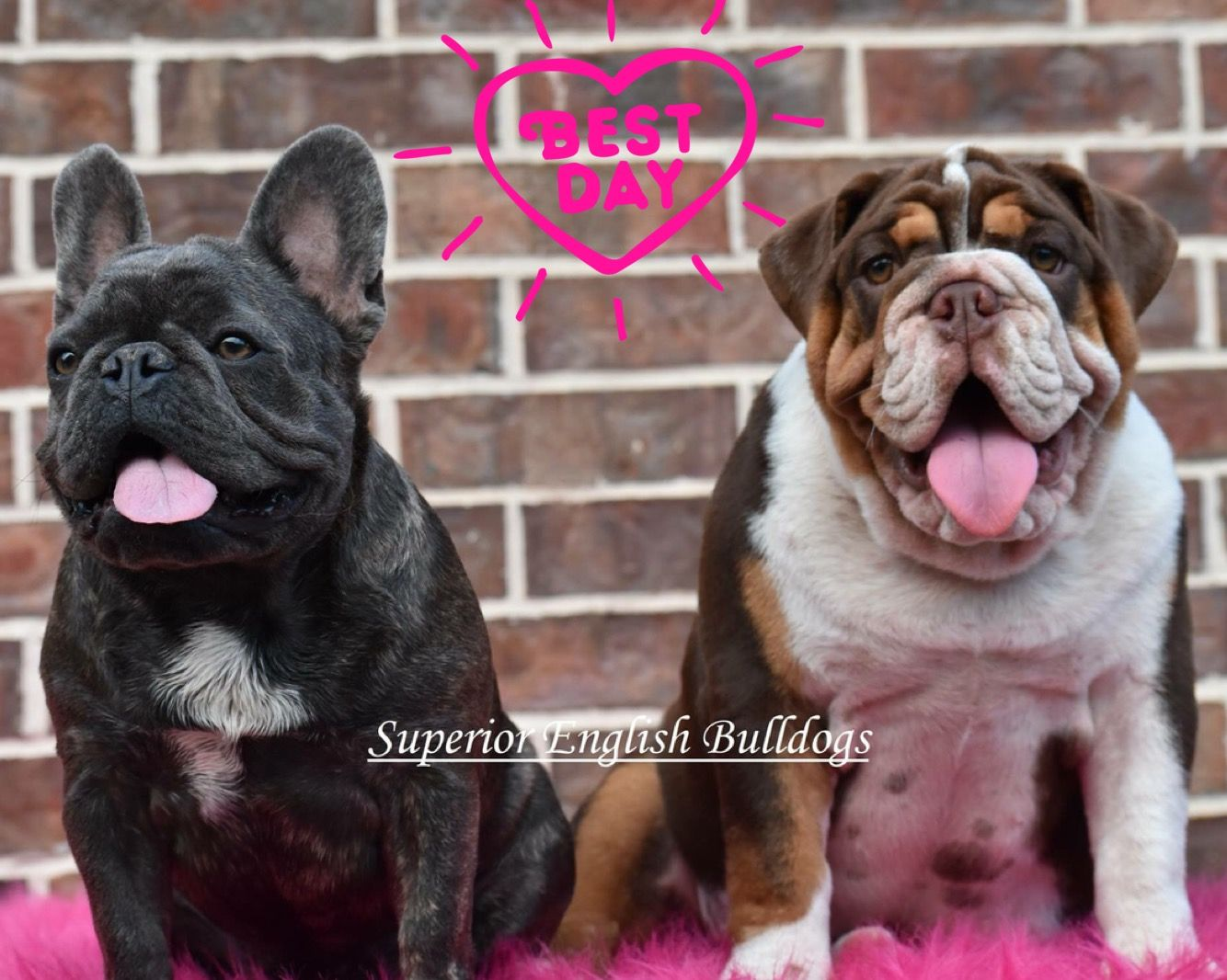 Pin by Superior English Bulldogs on English Bulldogs (With