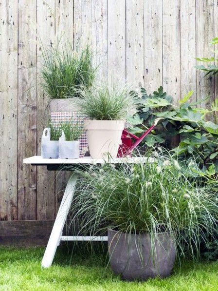 ob als gartenpflanze oder im k bel auf dem balkon oder der terrasse lampenputzergras ist immer. Black Bedroom Furniture Sets. Home Design Ideas