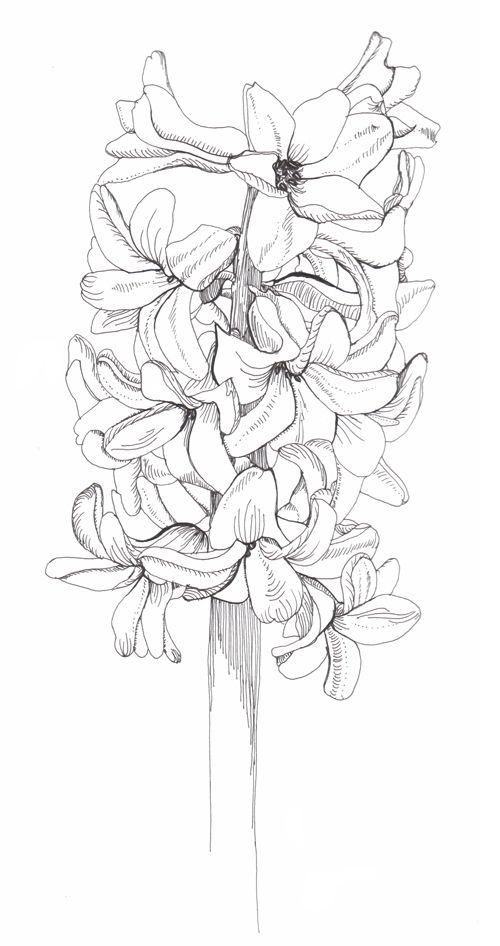 Hyacinth Phase Dibujos Dibujos De Flores Y Bocetos