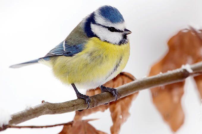 blaumeise foto frank derer meisen pinterest bird beautiful birds and backyard birds. Black Bedroom Furniture Sets. Home Design Ideas