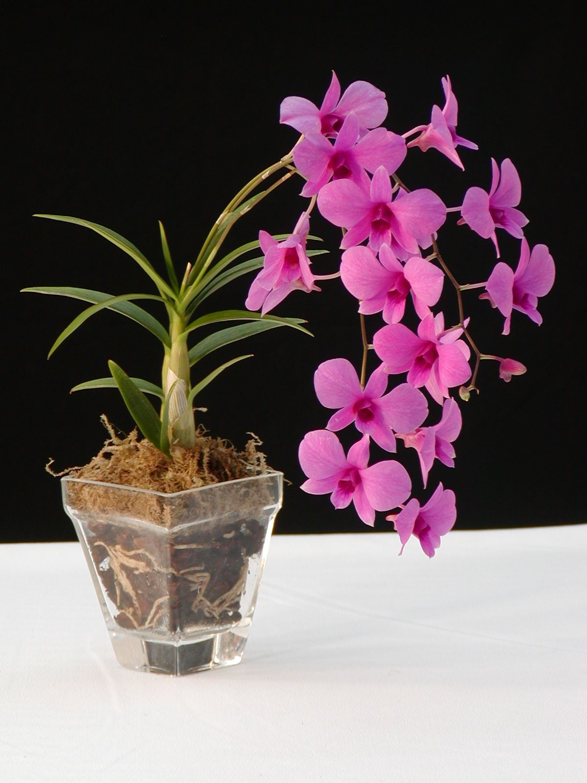 pot orchidee dendrobium dendrobium pinterest orchid. Black Bedroom Furniture Sets. Home Design Ideas