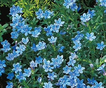 Ground Cover Flowers Low Growing Country Living
