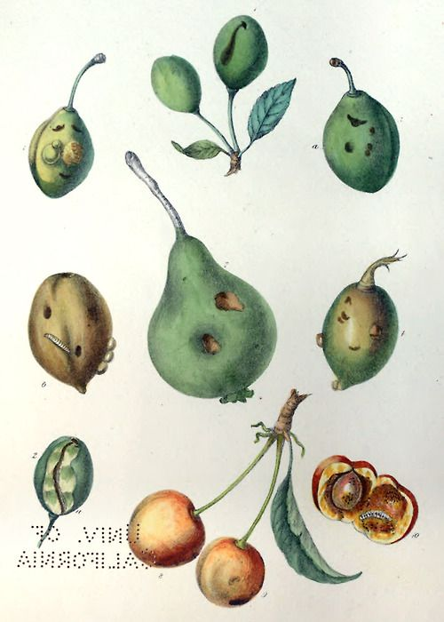The effect of hatched eggs and grubs of curculio on pears, plums and cherries. Illustration by Hochstein, from A treatise on the insect enemies of fruit and fruit trees, by Isaac P. Trimble, New York, 1855. Via archive.org.