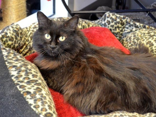 Don T Ask Me How A Beautiful Norwegian Forest Cat Ended Up In A Shelter But She Did Despite Landing In The Shelter Last Norwegian Forest Cat Animals Pet Care