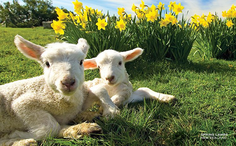 New Zealand landscape postcards | This card, Spring lambs ...  |Baby Lambs In Spring