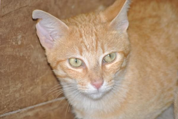 SHELOMO - Gato adoptado - AsoKa el Grande