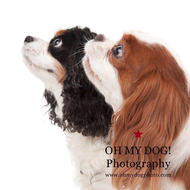 """Treat? #cavalierkingcharles #spanielsofinstagram #dogs #dogsofinstagram"" Photo taken by @ohmydogphoto on Instagram, pinned via the InstaPin iOS App! http://www.instapinapp.com (02/07/2015)"