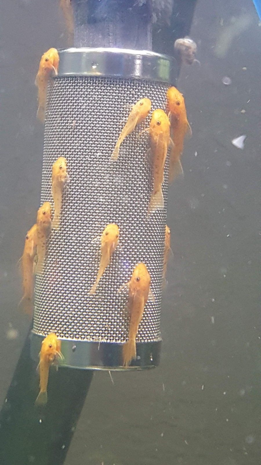 Marbled Super Red Bristlenose I M Selling 7 Juvenile Unsexed Marbled Super Red Bristlenose Plecos For Sale For 28 Th Plecostomus Pleco Fish Beautiful Fish