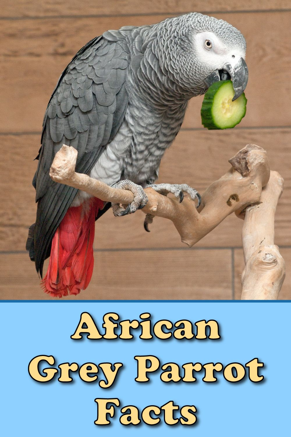 African Grey Parrot Facts For Kids Students Pictures