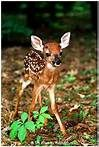 Baby White Tailed Deer - Bing Images