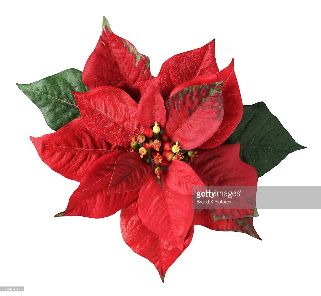 Poinsettia Paper Flowers Diy Easy Poinsettia Flower Poinsettia Care