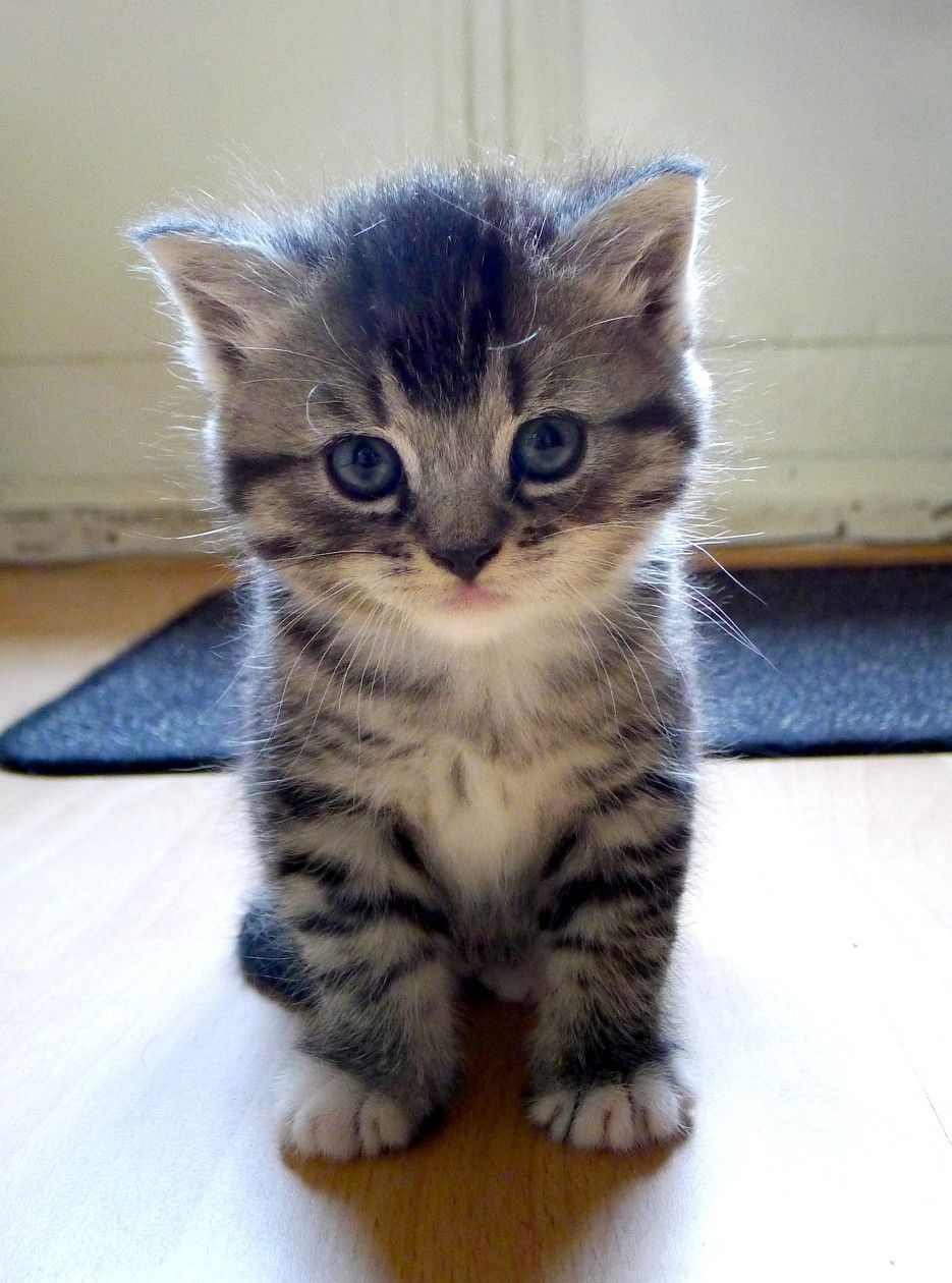 British Short Hair Silver Tabby Cute Cats Super Cute Animals Cute Puppies And Kittens