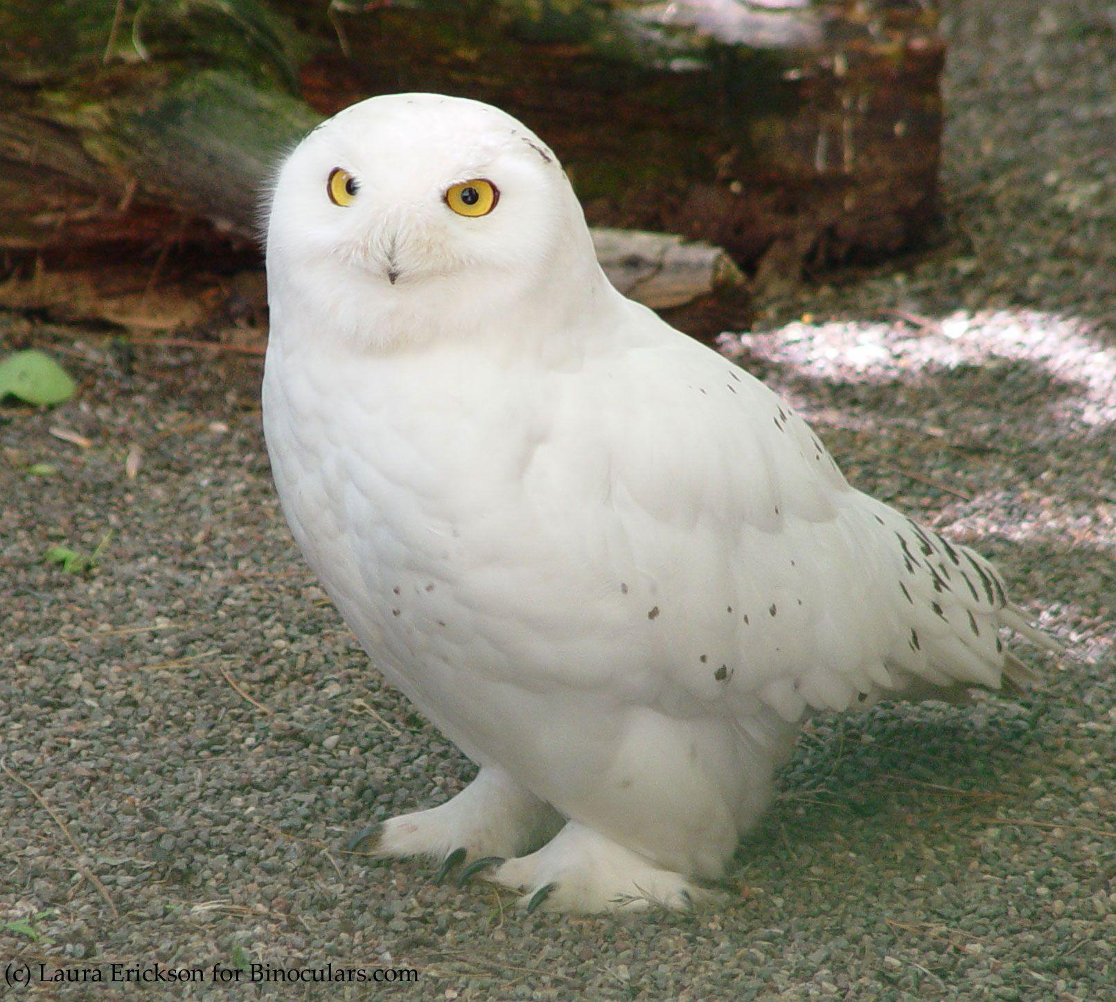 Laura S Birding Blog Hedwig Schneeeule Eule Tiere