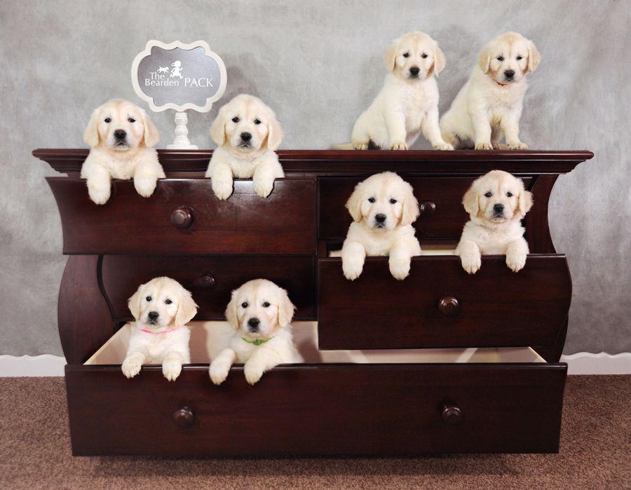 7 Week Old Puppies Dogs Golden Retriever Popular Dog Breeds