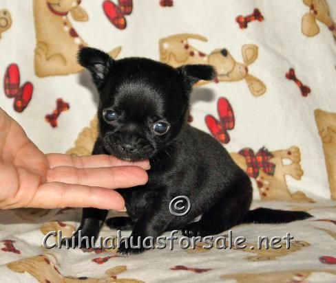 Fancypawspuppies Net Offers Teacup Chihuahuas For Sale From Akc Chihuahua Breeders In Dollface Chihuahua Breeders Chihuahua For Sale Teacup Chihuahua