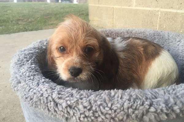 Daisee Poogle Beagle Mix Beagle Animals