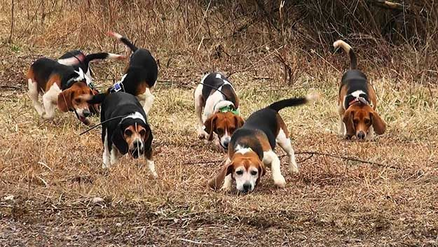The Do S And Don Ts Of Beagle Hunting Beagle Hunting Rabbit