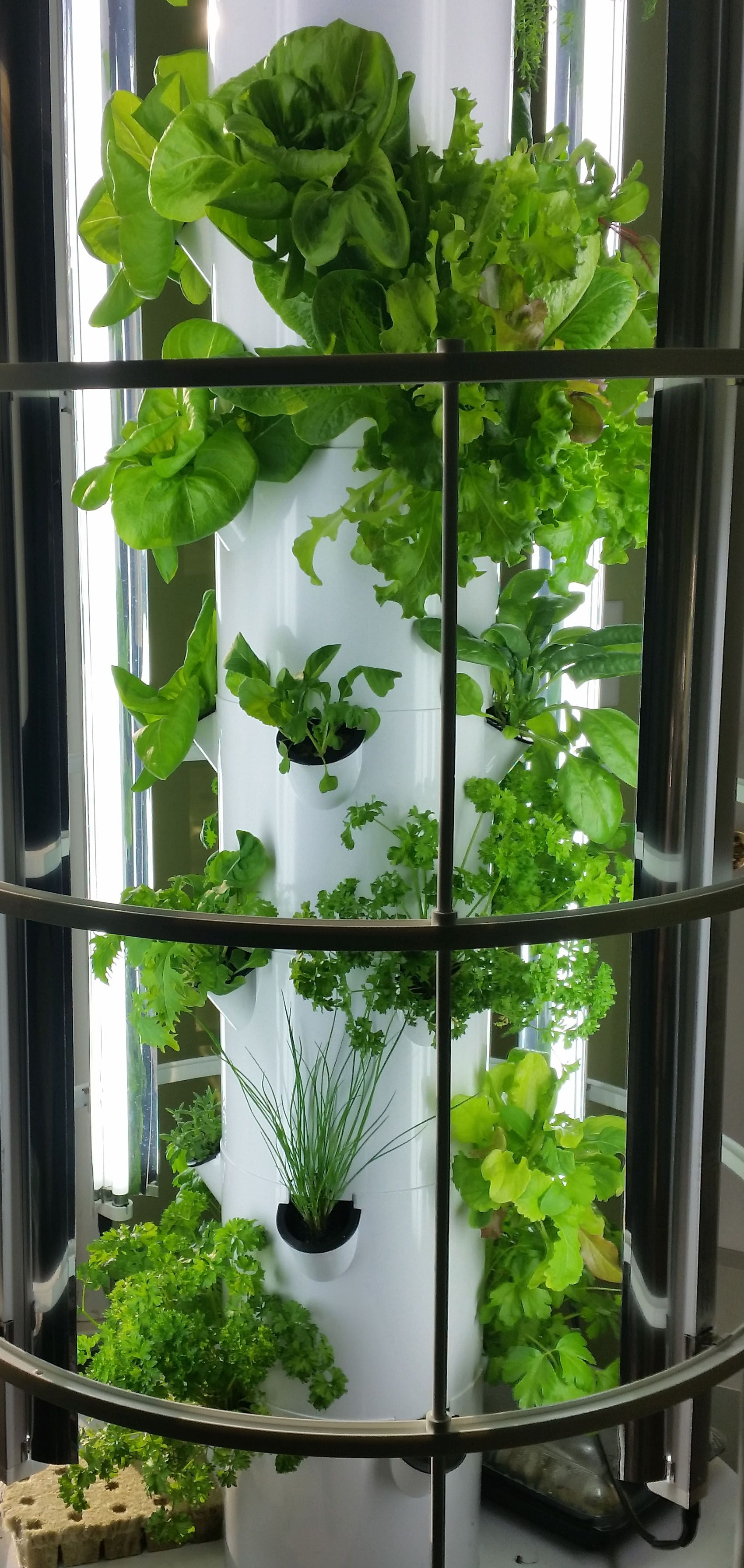 tower garden leafy greens grown indoors in the michigan winter