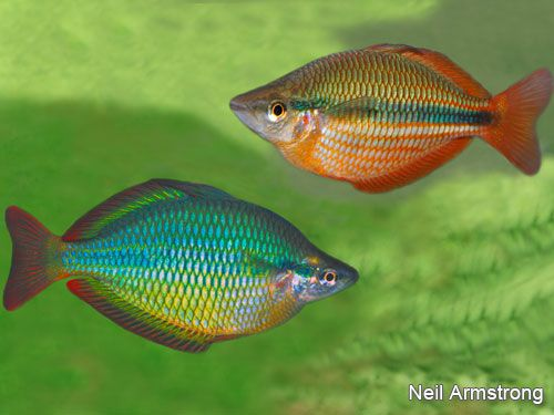 M trifasciata wenlock river natives coburg aquarium for Tropical rainbow fish