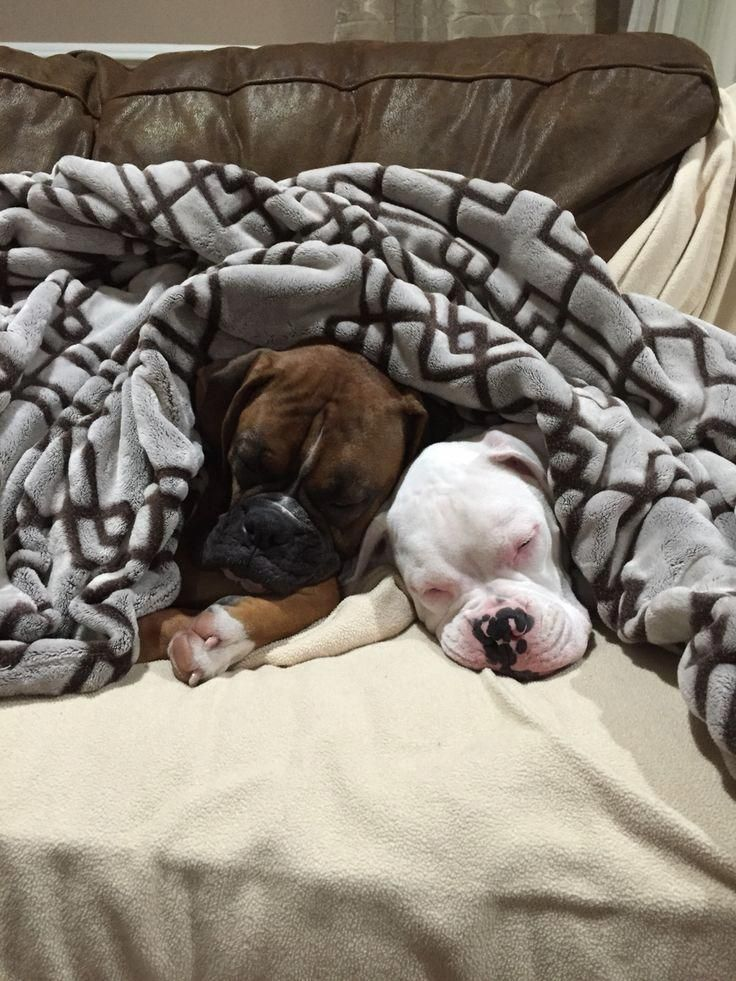 Obtain great tips on Boxer Dogs. They are actually
