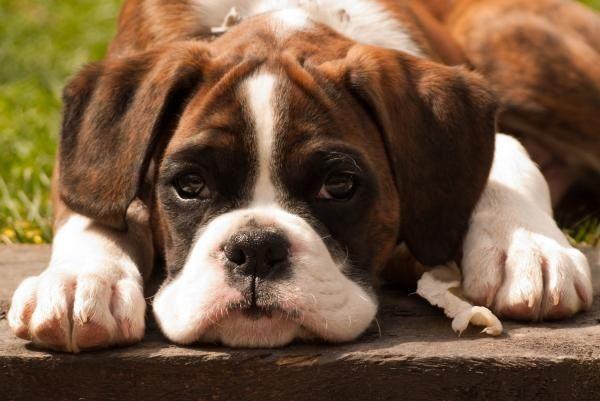 Good Brindle Boxer Bow Adorable Dog - b13a09ad4571ebbc1a1130979236ac5c  Collection_935142  .jpg