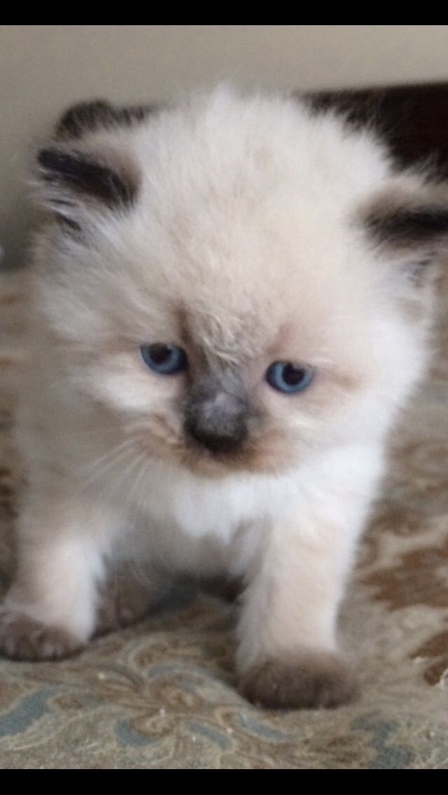 Persian And Himalayan Kittens For Sale In New Jersey 201 398 6766 Himalayan Kitten Kitten For Sale Persian Kittens