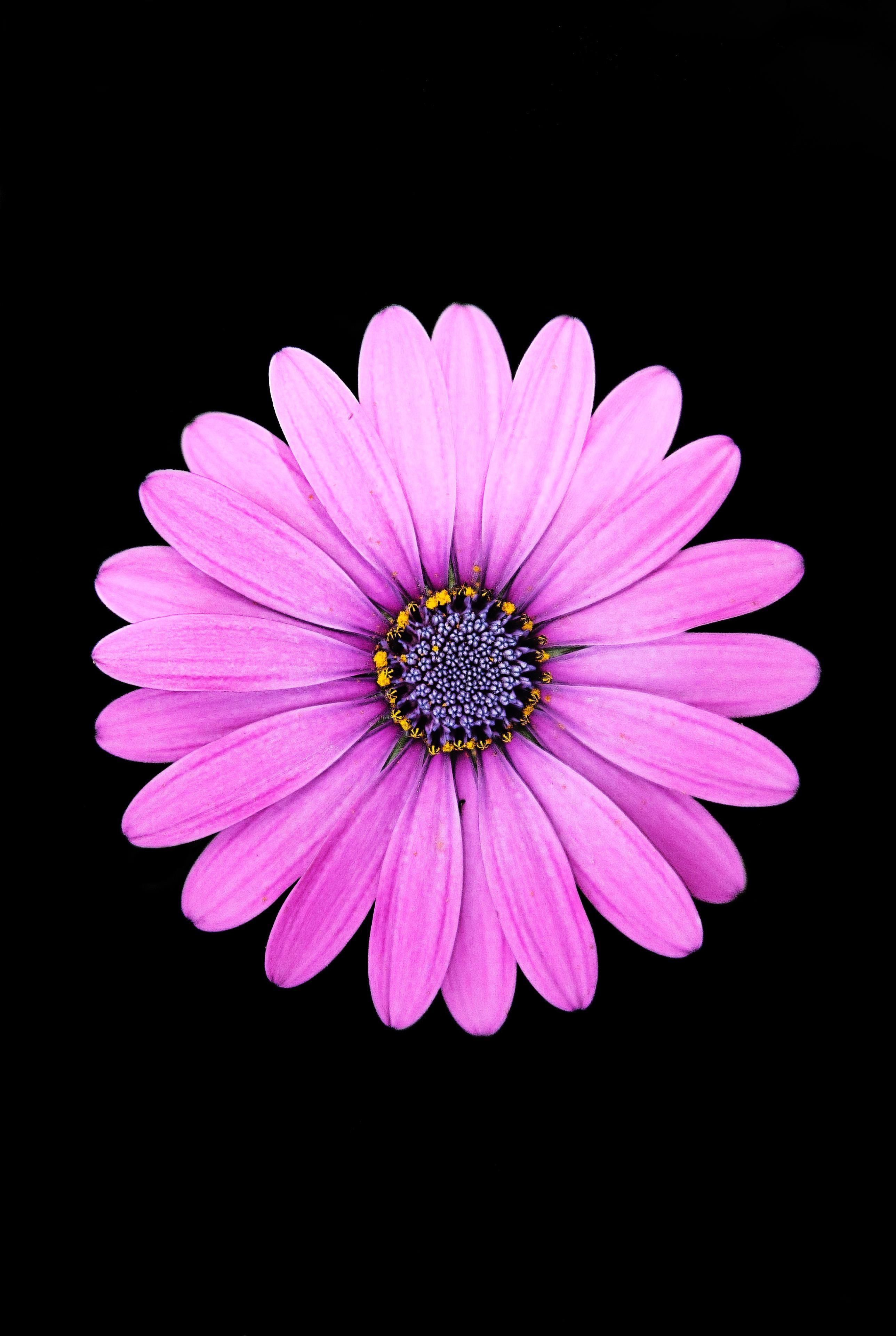 AMOLED Flower Wallpaper Purple daisy, Dark iphone