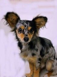 Sheltie Papillon Mix Shelillon With Images Mutt Dog Dog