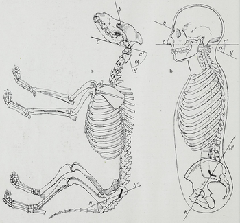 a 20th century illustration comparing the bone-structures of a, Skeleton