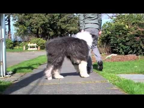 Leadership Walking with Tiffany (Old English Sheepdog).