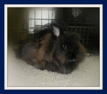 Adopt Aslan On Aslan Lionhead Rabbit Rabbit