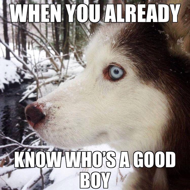 Show Me Ur Gud Dog Siberianhusky Husky