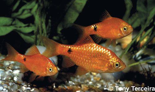 Aquarium Fish Which Barb Is For You Aquarium Fish Tropical Fish Tanks Cool Fish