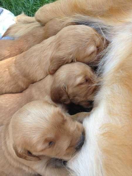 Akc Golden Retriever Puppies Golden Retrievers For Sale Poplar