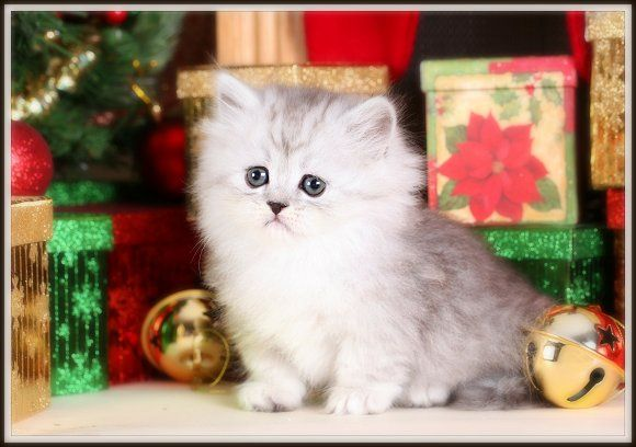 Silver Tipped Teacup Persian Rug Hugger Kitten For Kittens
