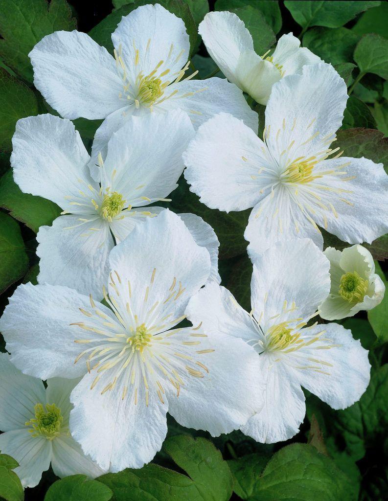 White Flowers Clematis Montana Alexander Fiolety Pinterest