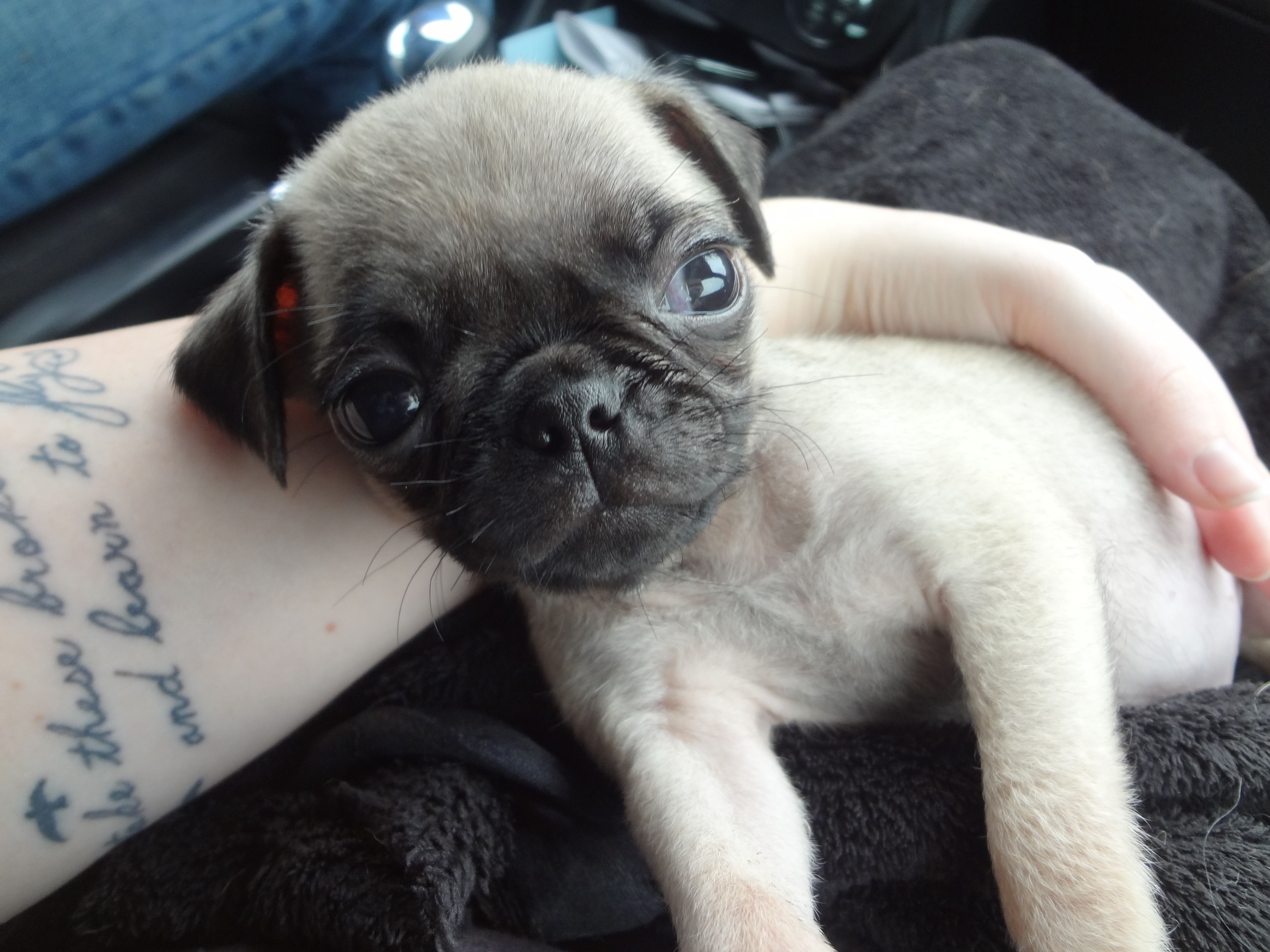 7 Week Old Pug Puppy Pugsly Pug Puppy Puppies