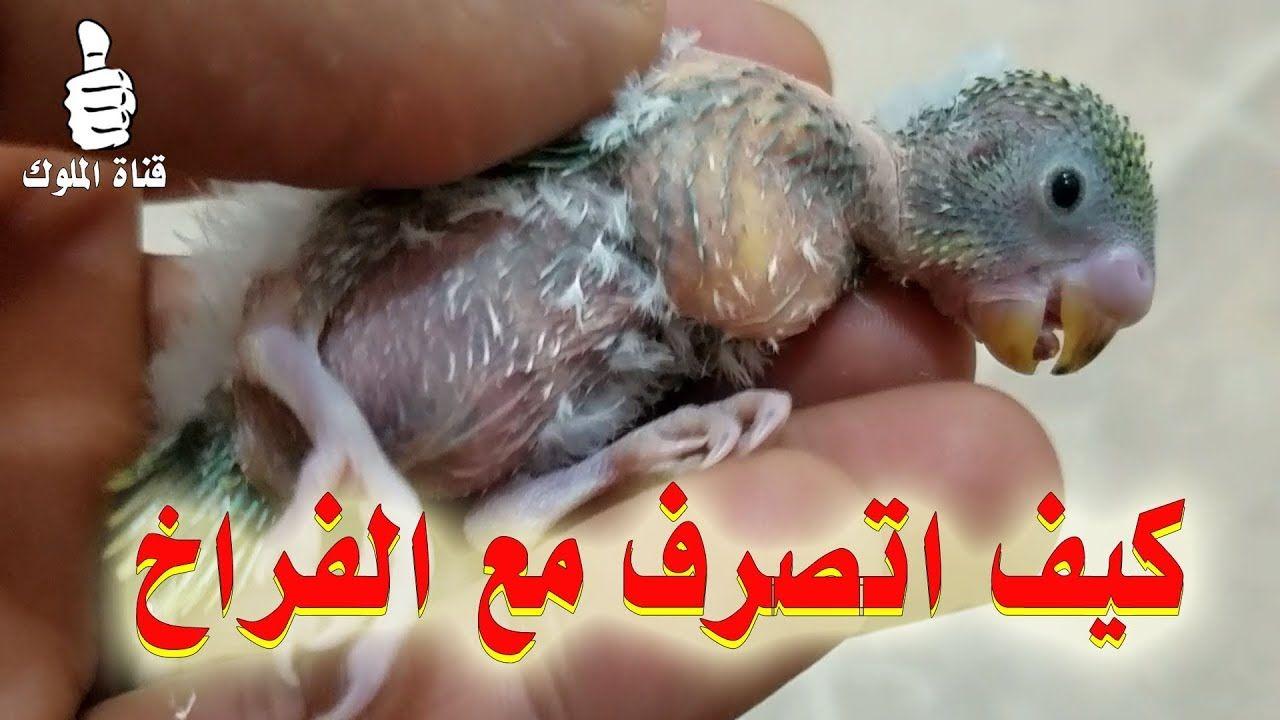 انثى البادجي لا تطعم الفراخ كيف اتصرف مع الفراخ Budgies Hamster Parrot