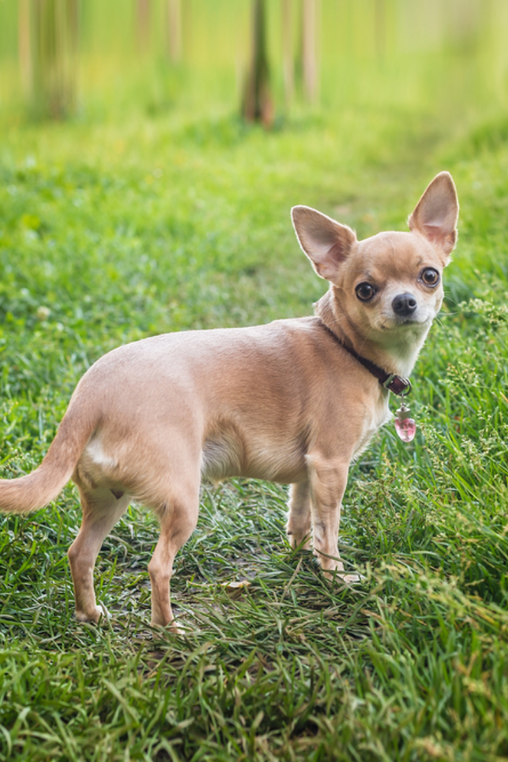 Smooth Haired Chihuahua Dog On A Walk Chihuahua In Green Summer Grass Chihuahua Girl Looks Nice In Nature In 2020 Cute Chihuahua Chihuahua Love Chihuahua Dogs