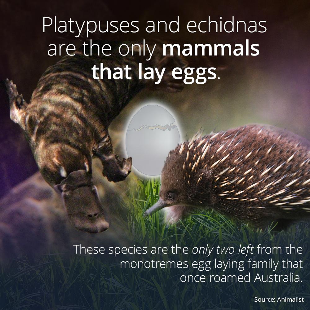 What mammals lay eggs?